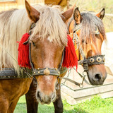 Portrait of pair of brown horses heads, in a  harness stand on the yard of farm. Horse concept. Square. With instagram format. - 209560649