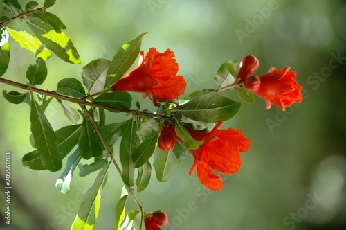 Pomegranate tree in bloom