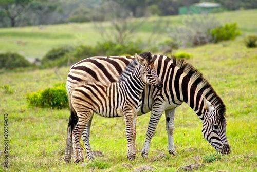 Naklejka Zebra South Africa