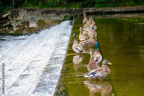 Foto Murales Ducks on Waterfall