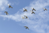 flying flock of speed racing pigeon against blue sky - 209568203