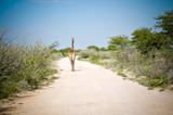 Giraffe von hinten läuft auf Weg im Busch - 209570417