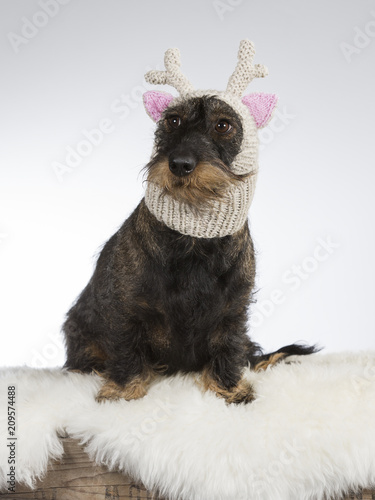 Foto Murales Funny dog picture. Wiener dog is wearing a knitted deer hat with pink ears. Humor studio shot.