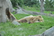 Grizzly bear sleeping in the grass
