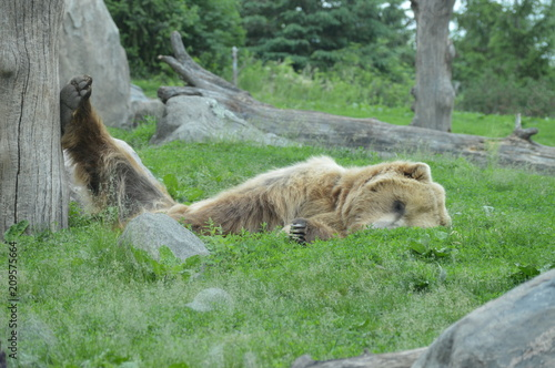 Fotobehang Lion Grizzly bear sleeping in the grass