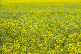 A beautiful meadow with yellow wildflowers. - 209587258