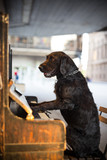 Black mutt dog Amy playing the piano. - 209596462