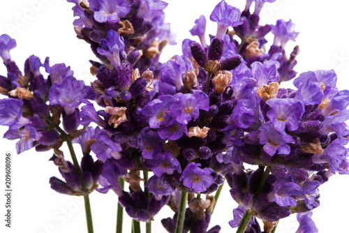 lavender isolated - 209608096