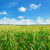 Bright green cornfield and blue sky with light cumulus clouds.