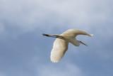 Great Egret in Flight - 209614892