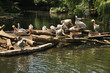 Pelicans in Berlin Zoological Garden. Germany