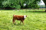 Young cow eating grass while looking forward