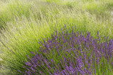 Closeup of lavender flower field with long stems of purple and green flowers. - 209634885