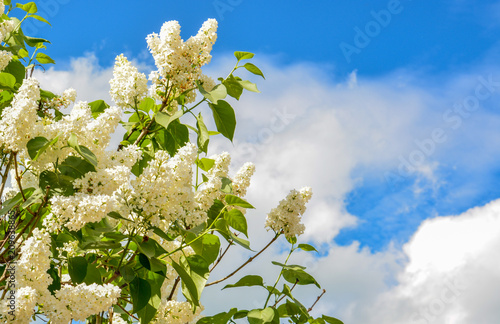 Branch of lilac bush with white flowers on the background of the blue sky with white clouds