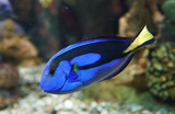 close up on blue tang fish in the reef