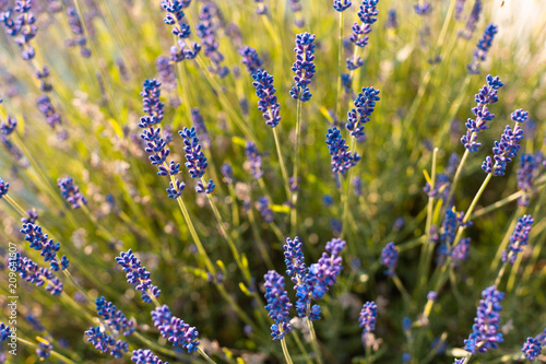 Fotobehang Lavendel Lavande en gros plan au printemps
