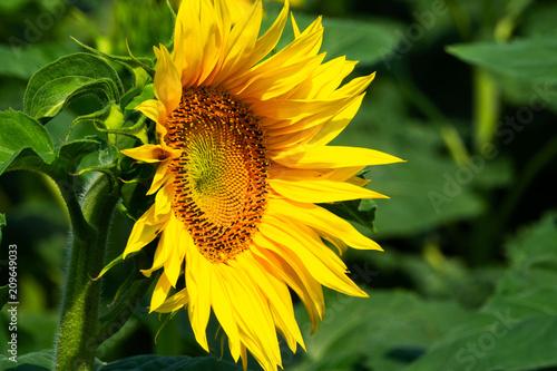 Foto Murales Sonnenblume im Feld