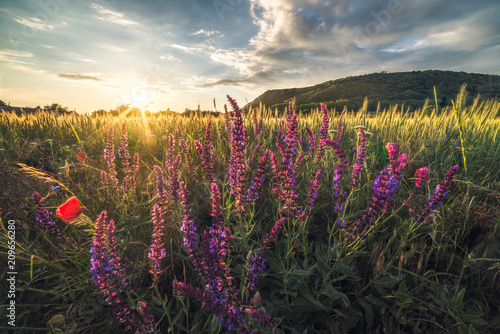 Foto Murales Golden Field and Flowers Illuminated by Setting Sun with Braunsberg Hill and Cloudy Sky in the Background