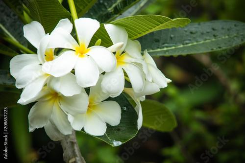 Fotobehang Plumeria White plumeria, frangipani flowers