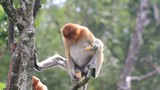 Proboscis Monkeys  - 209657898