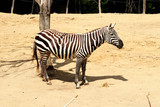 A beautiful zebra from africa saffari - 209659613