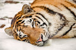 Portrait of the Tiger in winter