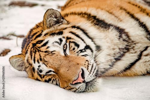 Fototapeta Portrait of the Tiger in winter