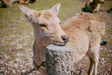 Cute Funny Deer Posing For Photo  - 209663205