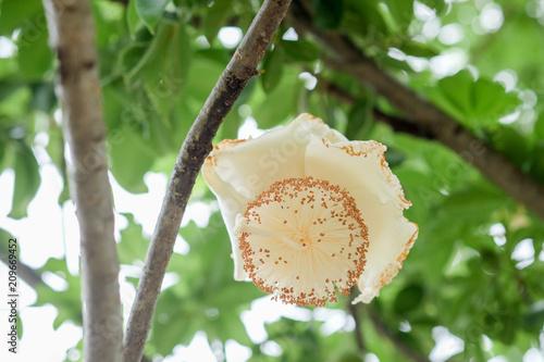 Foto Spatwand Baobab flowers of African baobab fruit or Monkey bread