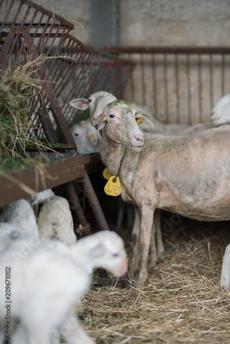 Naklejka flock of sheep and lambs on the farm