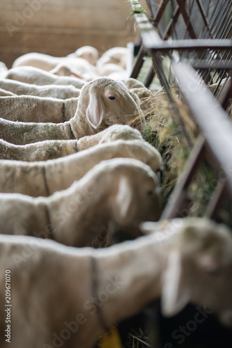 flock of sheep and lambs on the farm
