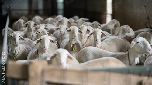 flock of sheep and lambs on the farm - 209671412