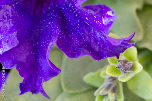 Macro shot on purple petunia flower and dew drops on petals. - 209672850
