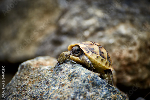 Fotobehang Schildpad The tortoise creeps in the wild on the rocks in the summer.