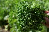 A bunch of freshly parsley just ripped off on a garden background - 209673050