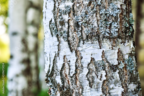 Bark of a birch tree close up - 209673024