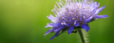 Macro of a blue cornflower isolated on green.
