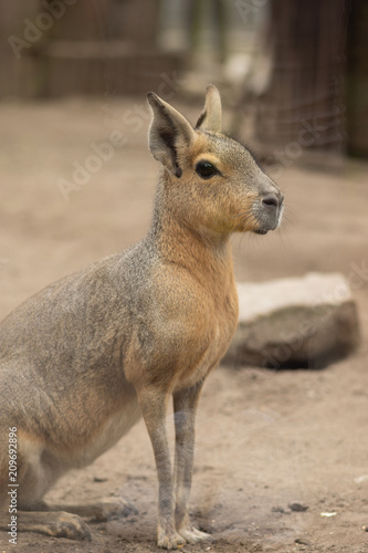 Plexiglas Kangoeroe Mara portrait