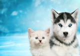 Cat and dog together , neva masquerade kitty, siberian husky puppy look straight forward on blue snowy background - 209696696