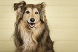 Studio portrait of an expressive Collie dog against yellow wooden background