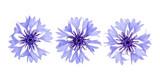 Blue cornflower isolated on white background macro