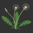 Dandelions with leaves on a black background. Spring and summer flowers. Vector illustration