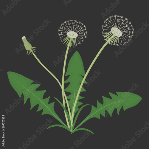 Dandelions with leaves on a black background. Spring and summer flowers. Vector illustration - 209707635