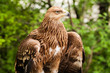 Leinwanddruck Bild - Ggolden eagle, bird of prey