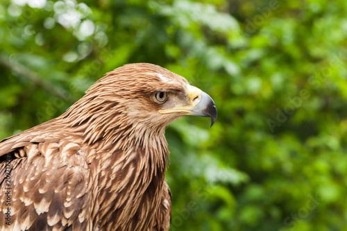 Plexiglas Eagle Close-up photo of golden eagle