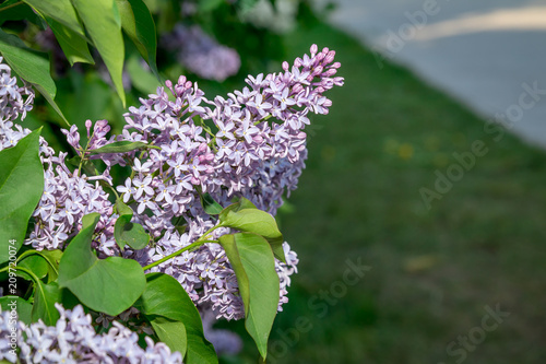 blue blooming lilac