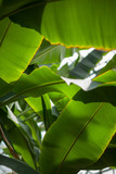 Fototapety tropical jungle leaves of a banana tree in a greenhouse, can be used as background