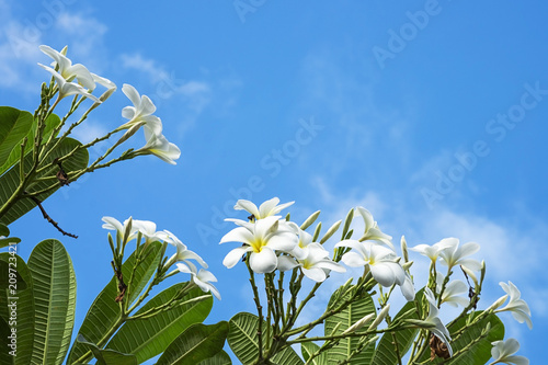 Fotobehang Plumeria Plumeria close up isolated on background
