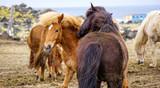 Icelandic horses in Hellisandur town - 209728006