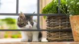 gattino bellissimo Maine Coon  - 209731804